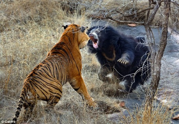 bear vs bengal tiger